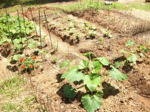 cucumbers, bush beans, cantaloupe, watermelon, peppers, and tomatoes
